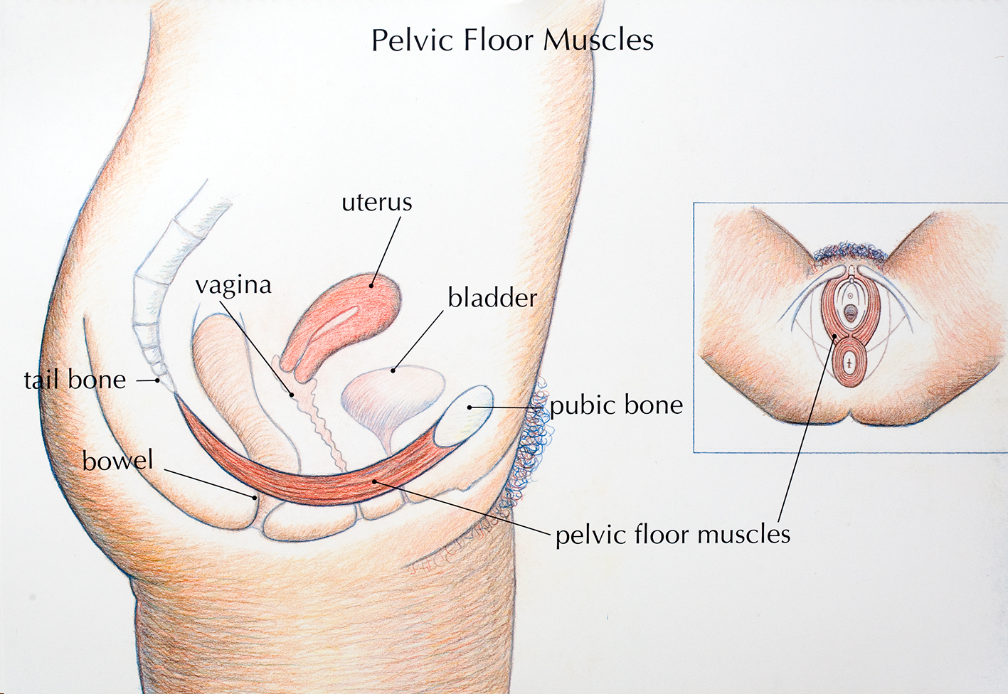 The pelvic floor | Family Planning NSW