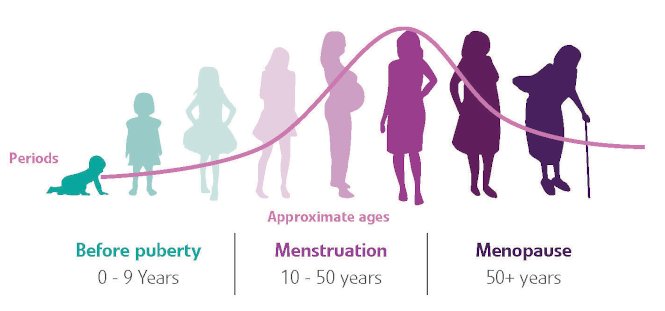 Stages of the menstrual cycle